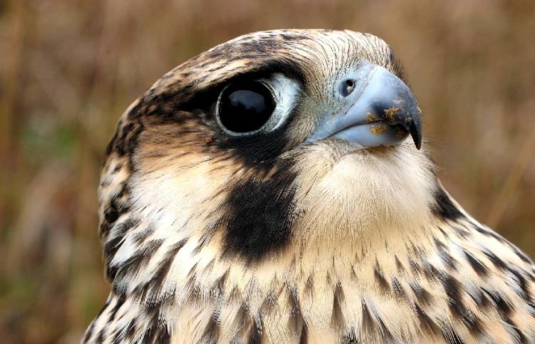 Peregrine Falcon, immature female