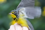 Canada Warbler (T. Ambrose photo)