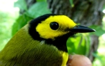Hooded Warbler at Tessentee