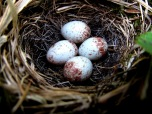 Dark-eyed Junco nest in Big Bald grassy bald habitat