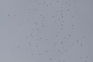 Hundreds of Broad-winged hawks over Big Bald