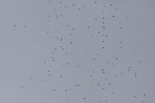 Hundreds of Broad-winged hawks over Big Bald