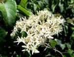 Tessentee habitat includes dense cover for nesting and bountiful perennial food sources such as blackberry, elderberry and dogwood (Cornus alternifolia)