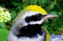 Golden-winged Warbler, male
