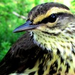 Northern Waterthrush nests in the Boreal Forest Ecosystem, visiting Tessentee on the journey north. (J. Evans photo)