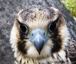 young male Peregrine Falcon