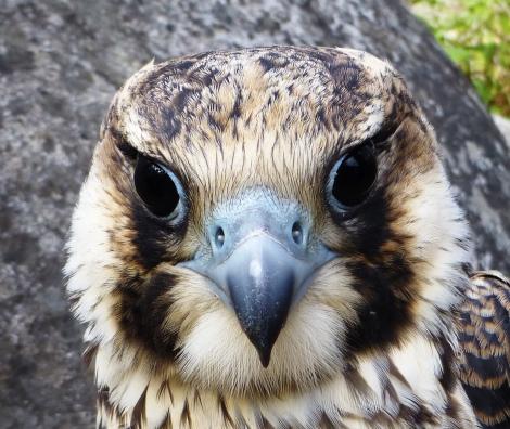 young male Peregrine Falcon