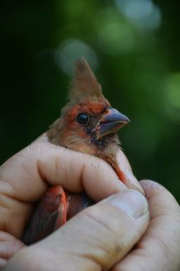 Juvenile Northern Cardinal at Cowee MAPS