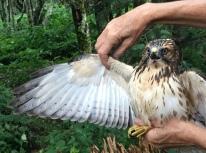 Broad-winged Hawk at Big Bald MAPS